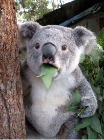 puto koala